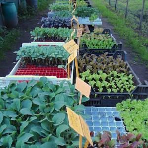 ons assortiment d 39 n brandnittel biologische groenten en kruidenplanten. Black Bedroom Furniture Sets. Home Design Ideas